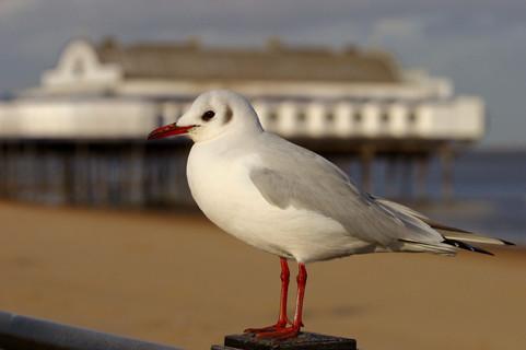 Cleethorpes Seagull