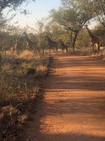 Giraffes on a walk.jpg