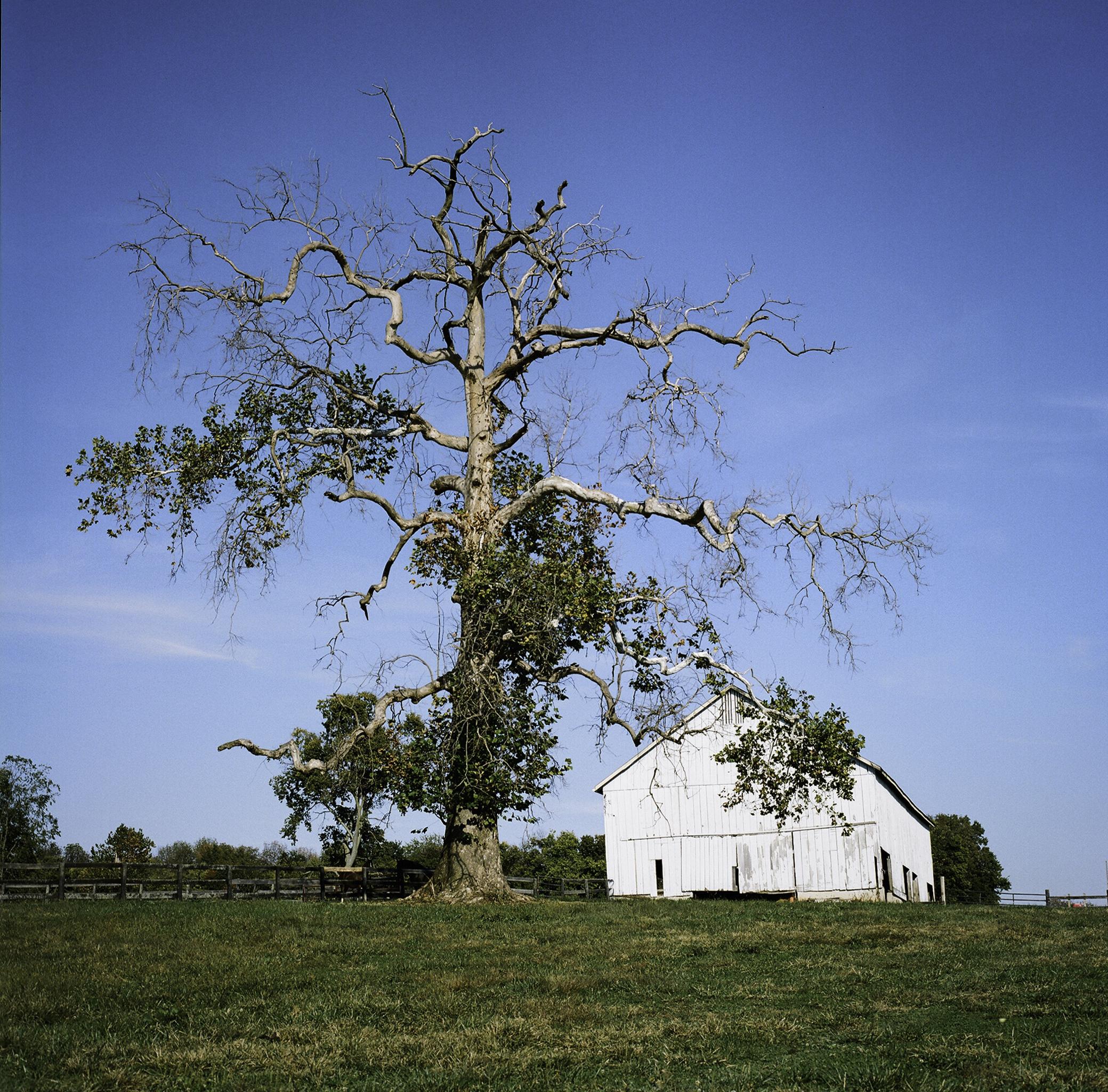 The Old Tree at Walnut Way