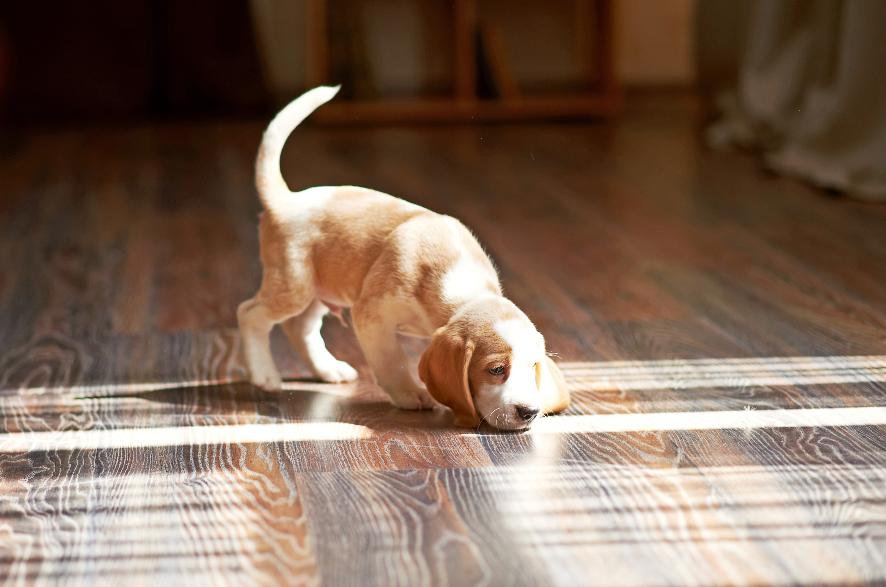 Hardwood Puppy.png