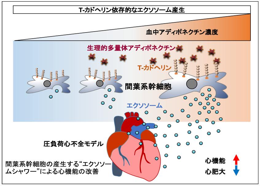 アディポネクチンは間葉系幹細胞治療を促進する図