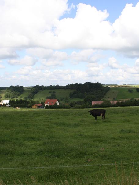 Cow in Field, Spangdahlm, Germany