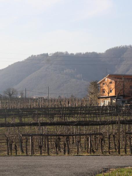 Bare vinyard, Italy