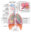 Respiratory_system_complete_it.svg.png