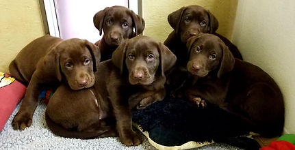 Silverbrook Kennels- Lab Puppies