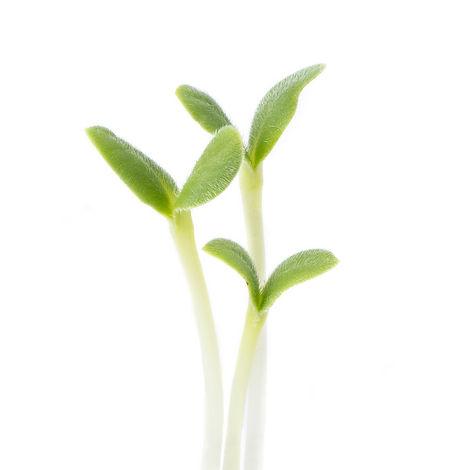 Borage Microgreens.jpeg