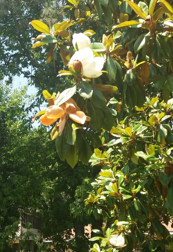 Magnolia2.5.10.18