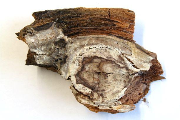 Holzprobe mit Echtem Hausschwamm