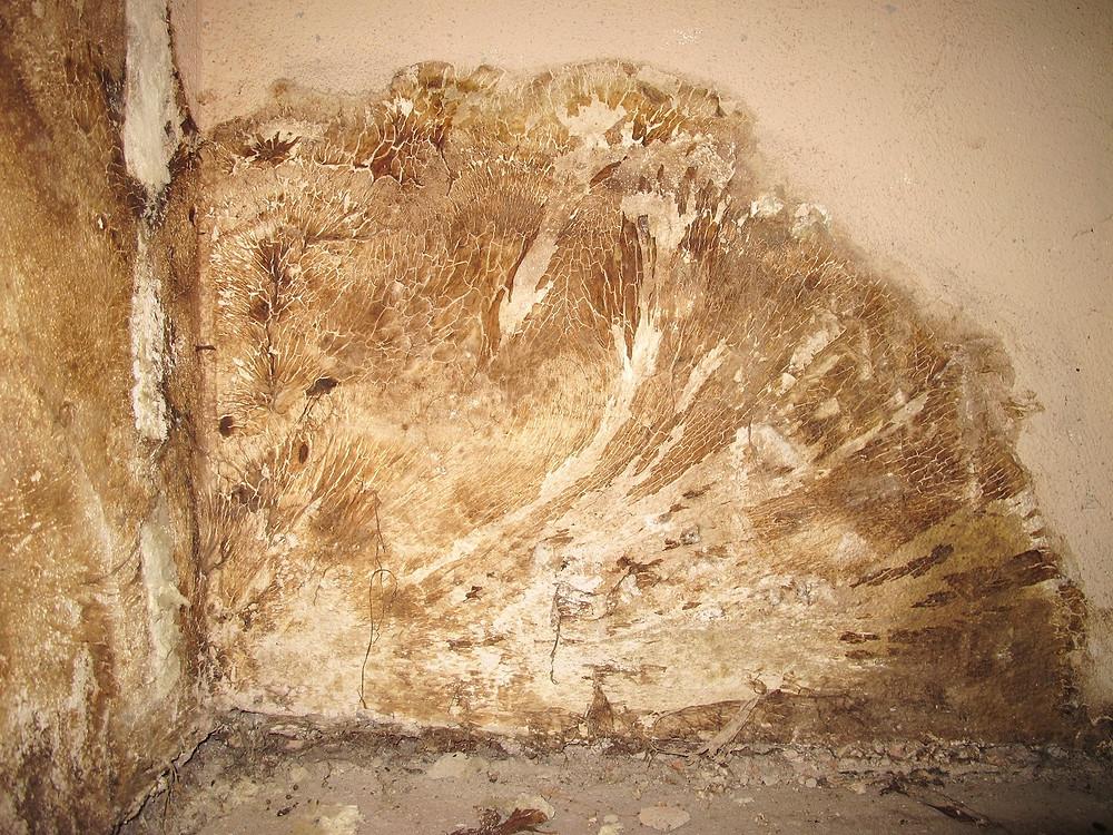 Mycelreste des Echten Hausschwamms.