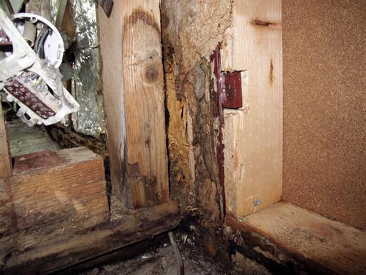 Abschätzung des Zeitpunkts eines Wasserschadens auf der Basis von Mycellängen von Holzpilzen