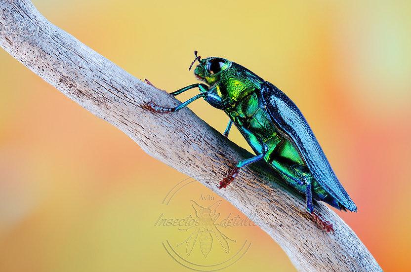 Chrysochroa fulminans. (Escarabajo joya metálico). Buprestidae. Focus stacking.