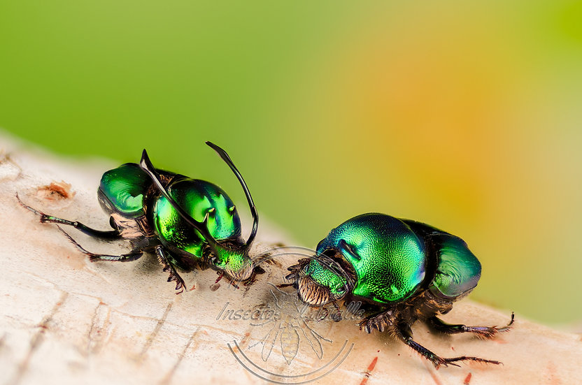 Onthophagus proagoderus. (Escarabajos del estiercol). Scaraeidae. Focus stacking.