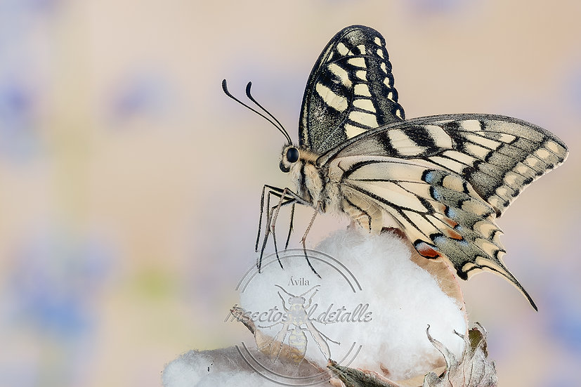 Papilio machaon. (Macaón). Apilado fotográfico. Focus stacking. Papilionidae.