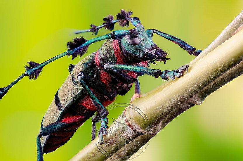 Thysia wallichi tonkinensis. Cerambycidae. Focus stacking.