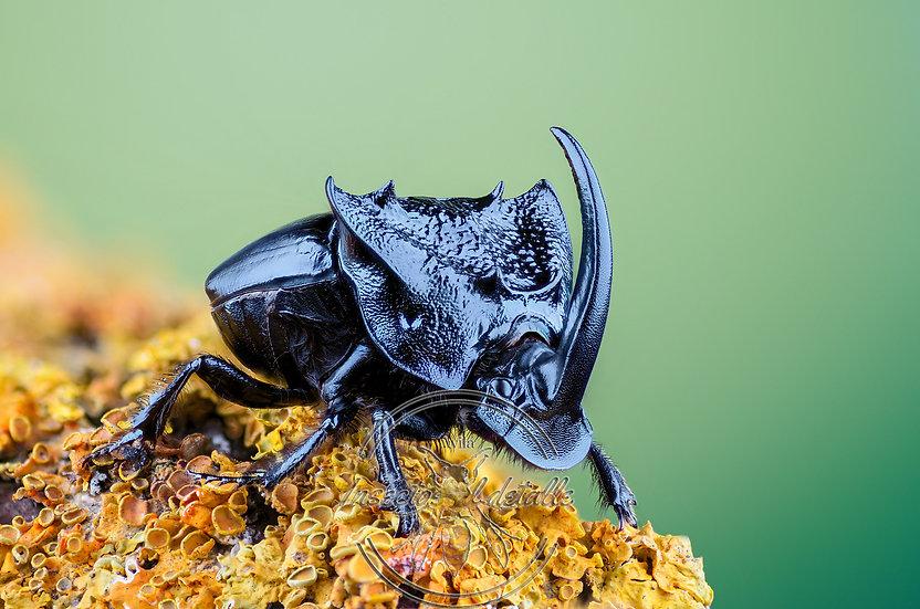 Phaeneus quadridens. (Escarabajo rinoceronte). Scarabaeidae. Focus stacking.