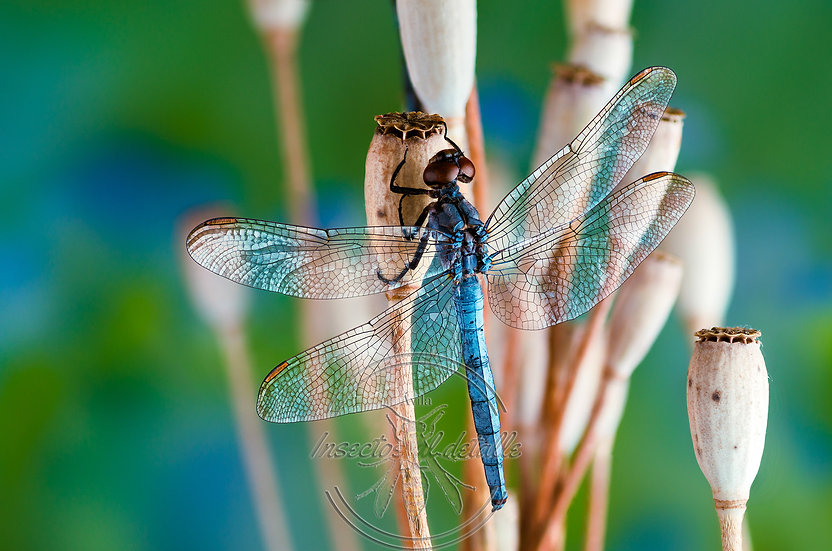 Orthetrum chrysostigma. (Libélula azul). Libellulidae. Focus stacking.