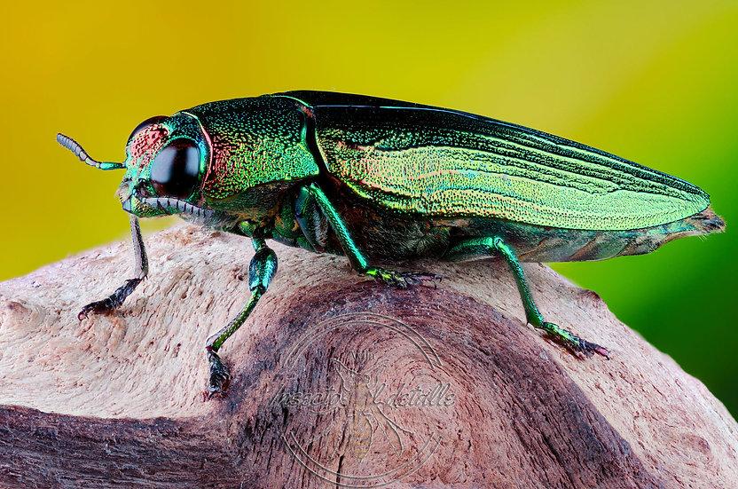 Chrysochroa purpureiventris. (Escarabajo joya). Buprestidae. Focus stacking.
