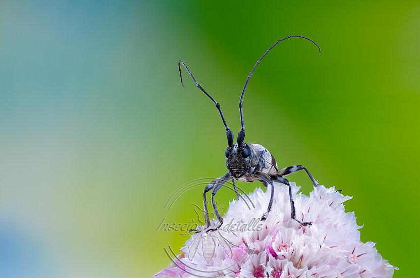 Acridoschema capricorne. Cerambycidae. Focus stacking.