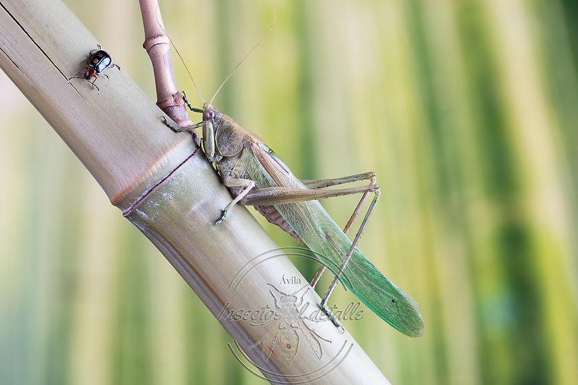 Familia Tettigoniidae.(Saltamontes longicornios). Tettigoniidae. Focus stacking.