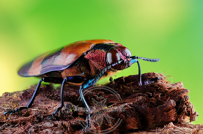 Chrysochroa buqueti. (Escarabajo joya). Buprestidae. Focus stacking.