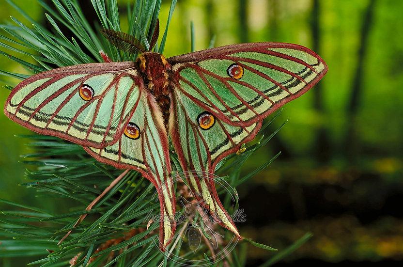 Graëllsia isabellae. (Mariposa Isabelina). Saturniidae. Focus stacking. Mariposa Isabelina.