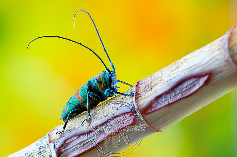 Sternotomis callais rufomaculata. Cerambycidae. Focus stacking.