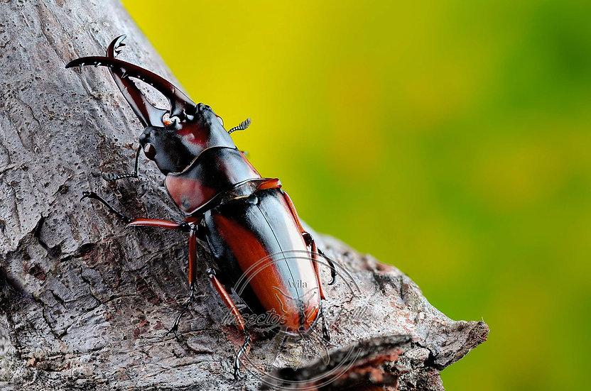 Prosopocoilus downesii savagei. Lucanidae. Focus stacking.
