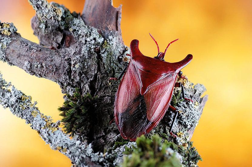 Eurypleura bicornis. Tessaratomidae. Chinche. Focus stacking.