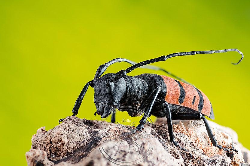 Diastocera trifasciata. Cerambycidae. Focus stacking.