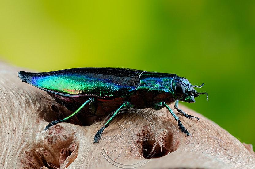 Cyphogastra calepyga. (Escarabajo joya). Buprestidae. Focus stacking.
