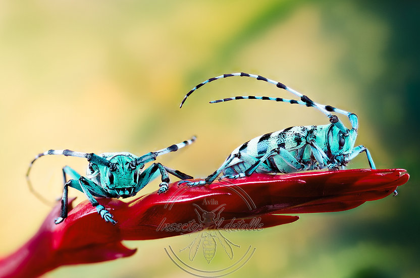 Anoplophora medenbachii. Cerambycidae. Focus stacking.