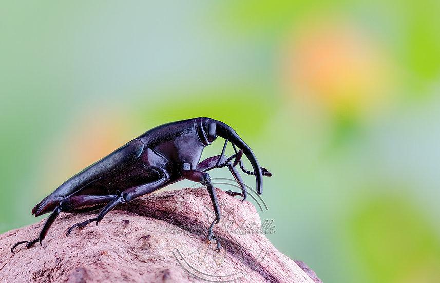 Familia Curculionidae.(Gorgojos o picudos). Curculionidae. Focus stacking.