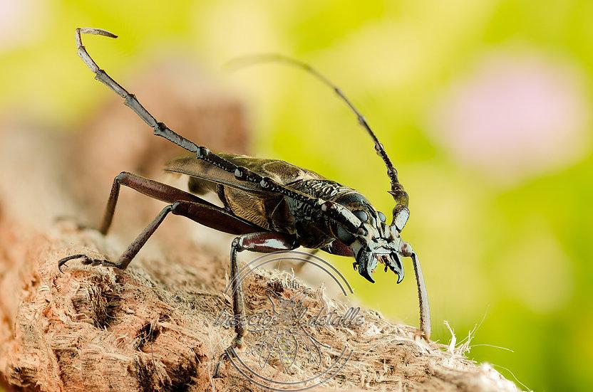 Hoplocerambyx spinicornis. Cerambycidae. Escarabajo perforador. Focus stacking.