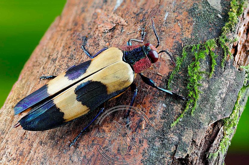 Chrysochroa rugicollis.(Escarabajo joya moteado). Buprestidae. Focus stacking.
