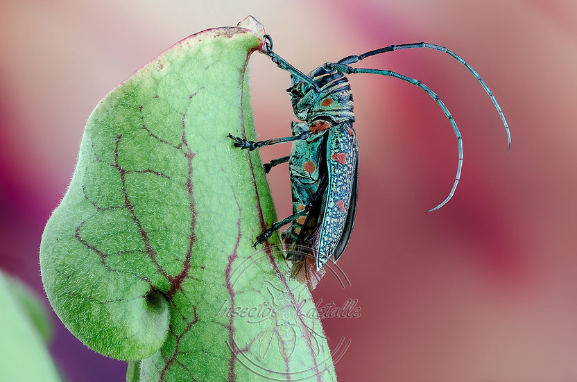 Zographus regalis. Cerambycidae. Focus stacking.