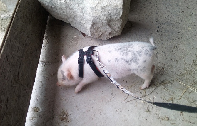 Un cochon pour la ferme! Bienvenue à Tirelire