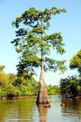 Single Cypress Tree.jpg