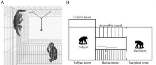 Los científicos cambiaron el tamaño de la malla que rodeaba la sala adyacente en la que estaba el bonobo desconocido, de modo que en algunos test eran capaces de meter sus brazos y pedir ayuda y en otros no, pero comprobaron que los bonobos ayudaban al desconocido tanto si hacía gestos para expresar su deseo de conseguir la manzana como si no. Además, los primatólogos destacan que el bonobo cooperador ayudaban al bonobo desconocido de forma voluntaria, antes de que el otro se lo pidiera. Y esto ocurría tanto con ejemplares jóvenes como mayores.