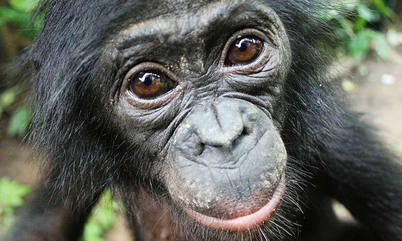 Un bonobo de República Democrática del Congo LOLA YA BONOBO SANCTUARY