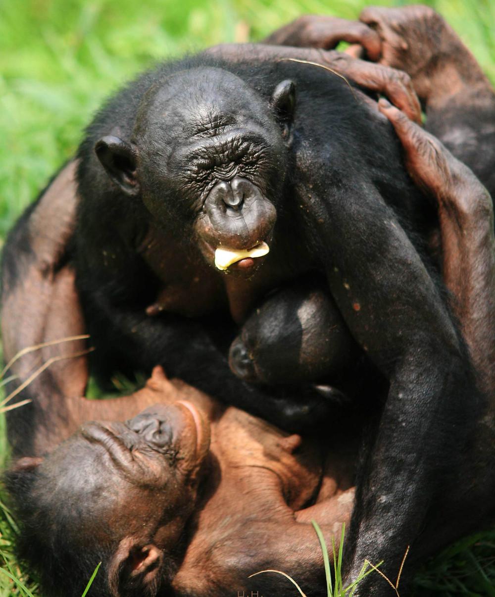 Una hembra bonobo abraza a un bonobo que acababa de llegar al grupo LOLA YA BONOBO SANCTUARY