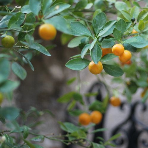CITRUS TREE-POTTED