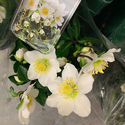 HELLEBORE-POTTED
