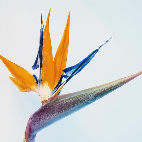 BIRD OF PARADISE-FRESH CUT