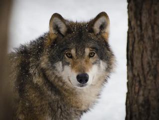 DE WOLF IS TERUG