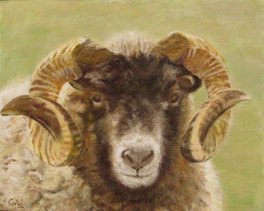 Gradje, onze schapenbok
