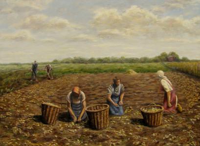 Aardappelen rapen