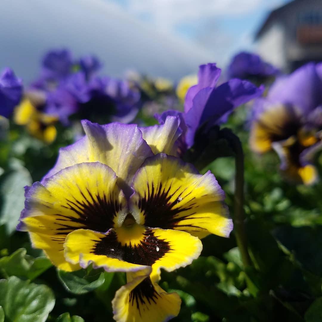 Violets in bloom