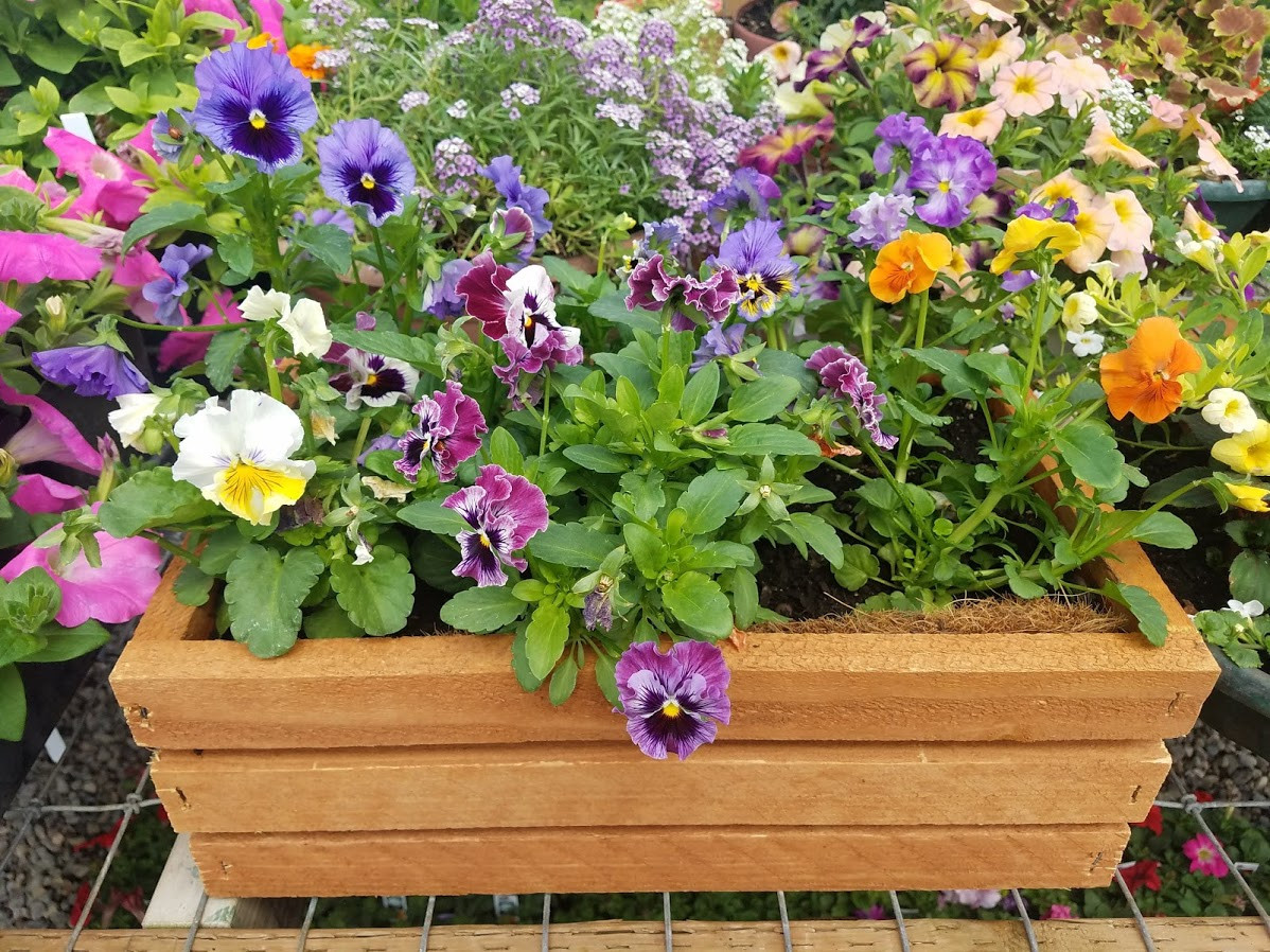 Pansies in a lovely window box.
