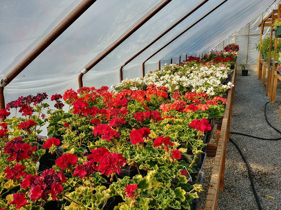 Red and white annuals