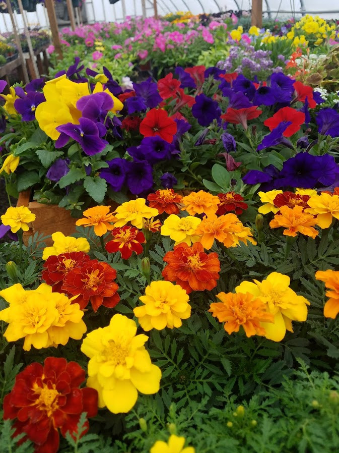 Petunias and Marigolds